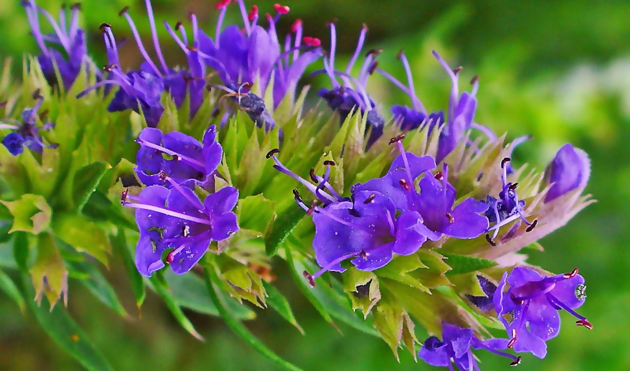 عرق گل زوفا